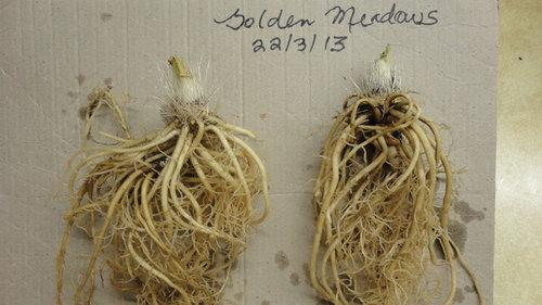 Picking The Best Bare Root Hosta