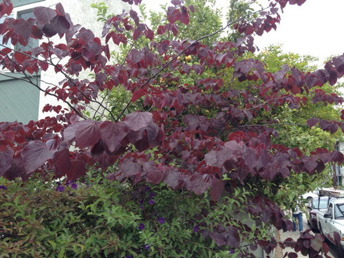 What Is This Pretty Tree With Burgundy Leaves
