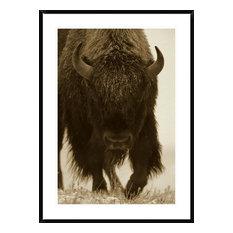 "American Bison Portrait In Snow, North America, 30""x42"""