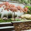Great Design Tree: Japanese Maple