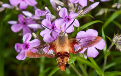 Hummingbird or Moth? See Why You Want Clearwings Around