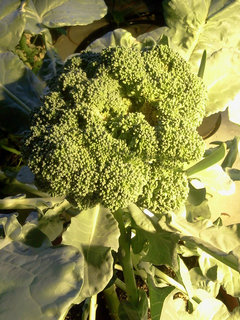 Why does my broccoli have yellow flowers images flower decoration why does my broccoli have yellow flowers gallery flower decoration why does my broccoli have yellow mightylinksfo