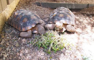Pet's Place: Tortoises Take to Yard Life in Arizona