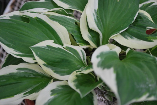 Whats Eating My Hosta