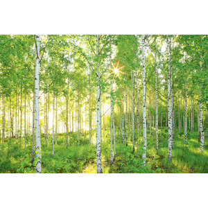 Sunday Birch Forest Photo Wall Mural, 368x254 cm