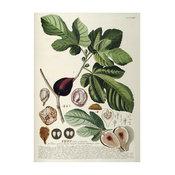 """Ficus"" Print, 70x100 cm"