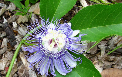Great Design Plant: Passiflora Incarnata