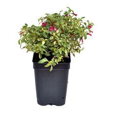 Fuchsia, Lottie Hobby Variegated - Fuchsia