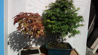 BONSAI DISPONIBLE