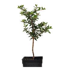 Nashia inaguensis, Bonsai - Moujean tea