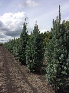Picea Meyeri Spacing Picea Abies Cupressina Hardiness