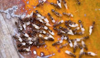 Pavement Ants & their Eggs