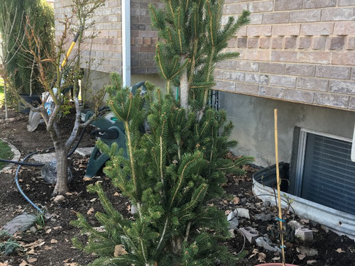 Columnar Norway Spruce Picea Abies Cupressina Pruning