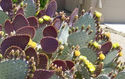Great Design Plant: Santa Rita Prickly Pear for Purple Appeal
