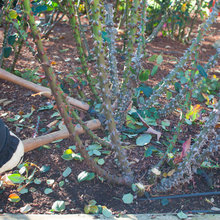 How to Care for Your Roses Over Winter