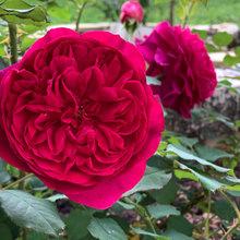 Rose - Munstead Wood