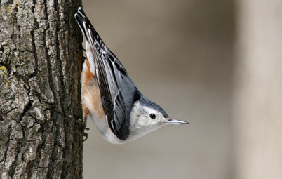 Backyard Birds: Those Nutty Nuthatches