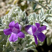 Great Design Plant: Try Blue Bells for Blooms in Dry Soil