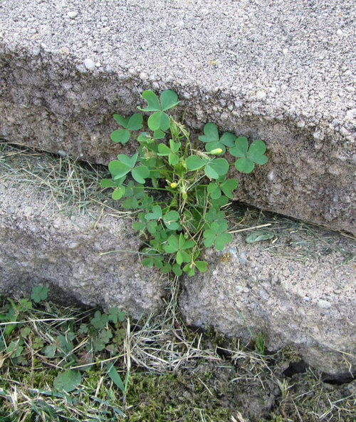 Clover Like Weed Small Yellow Flowers
