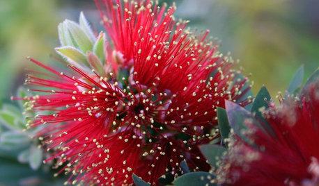 Great Design Plant: Velvety Dwarf Bottlebrush Beckons a Touch