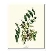 Vintage Botanical Tree Leaf Art Print: Ash