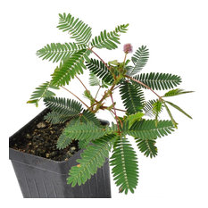Mimosa pudica - Fairy Sensitive Plant