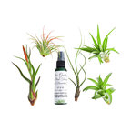6 pc Large Air Plant Tillandsia With 5 Large Air Plants and 2oz Spray