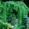 The Weepers and the Creepers: 10 Intriguing Trees for Your Garden