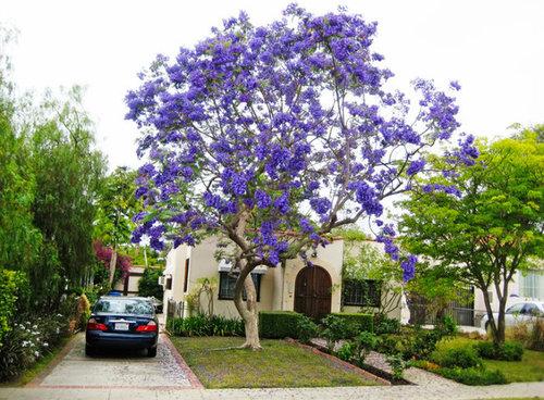 Anyone Growing A Jacaranda In South Florida