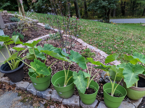 Storing Elephant Ears For Winter