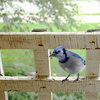 Backyard Birds: Meet Some Clever and Curious Jays