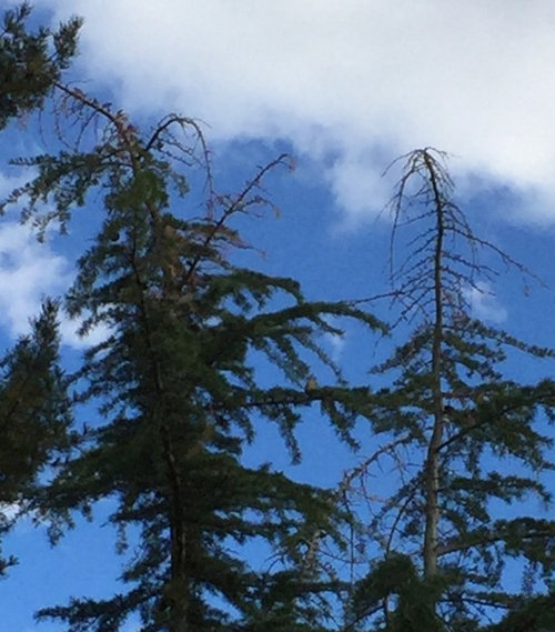 Pines Dying From Top Down Kim Stanley September 30 2016 What Is Causing This And Can It Be Stopped