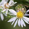 Look for Metallic Green Sweat Bees Visiting Your Garden This Fall