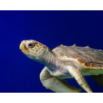 "Pi Photography Wall Art and Fine Art - ""Sea Turtle 2"" Underwater Coastal Wildlife Photography Unframed Wall Art Print - ""Sea Turtle 2"" Wildlife Photography - Luster Photo Paper Unframed Wall Art Print"