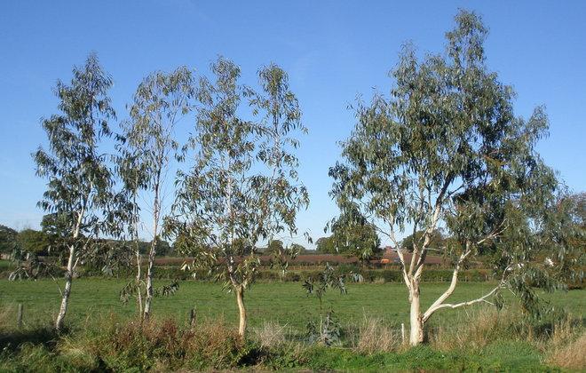 Five Eucalyptus Trees. Aged Nine. 2010.