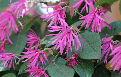 Great Design Plant: Fringe Flower's Star Rises