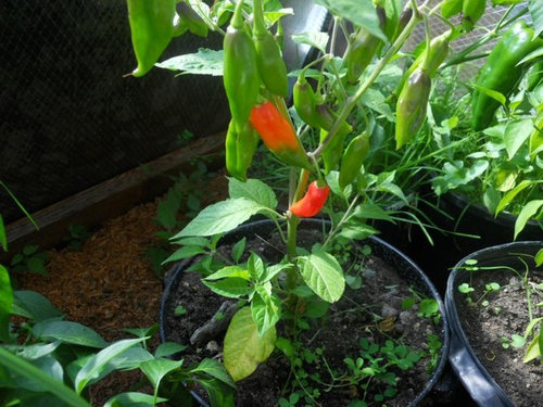 Vinegar and Peppers