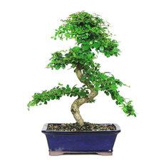 brussels bonsai fukien tea bonsai tree large plants