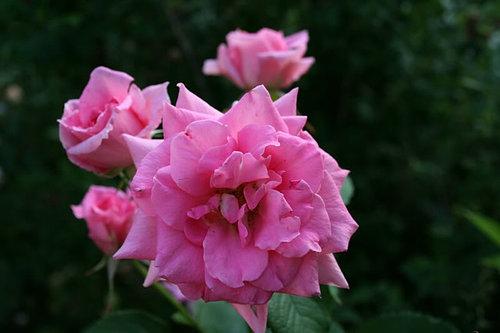 Buck Roses A G