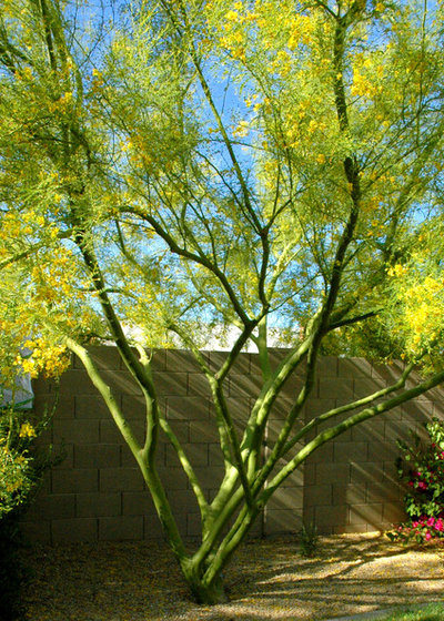 Landscaping With Palo Verde Trees : Great design plant desert museum palo verde offers a colorful canopy