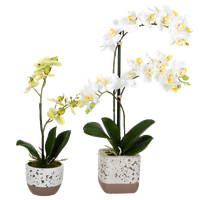"13.5"", 18"" Mini White Phal, Set Of 2"