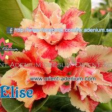 """A. Obesum """"Rinoa_Elise"""""""