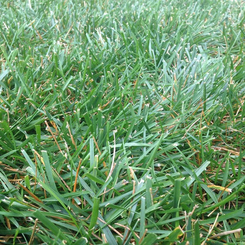 K31 Or Tttf Need Help Identifying Grass For Overseeding