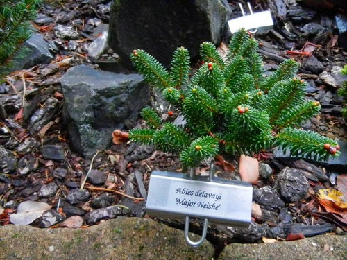 Four Years Of Abies Delavayi Major Neishe