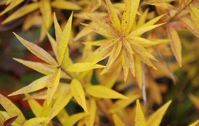 Great Design Plant: Eastern Bluestar Wows in Fall