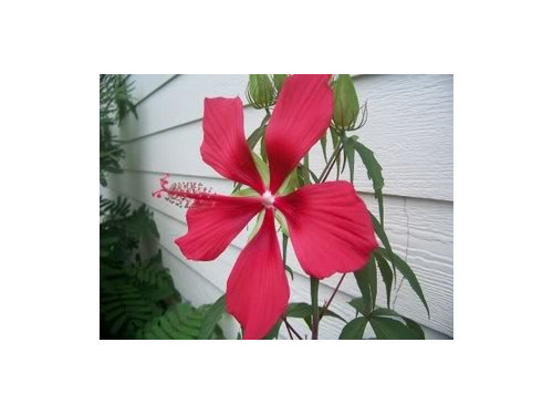 Red Texas Star Hibiscus