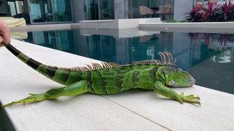 Iguana removal in Miami,Fl