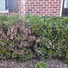 Help Diagnose Whatever Is Killing My Shrubs!