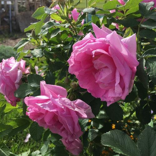 Roses 2017