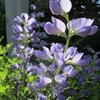 Great Design Plant: Dwarf Blue Indigo Offers Carefree Beauty